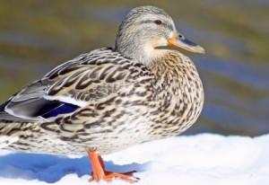Snow Duck